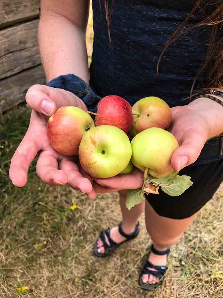 Apples picked at Jim Moore Place along the Main Salmon River in Idaho.